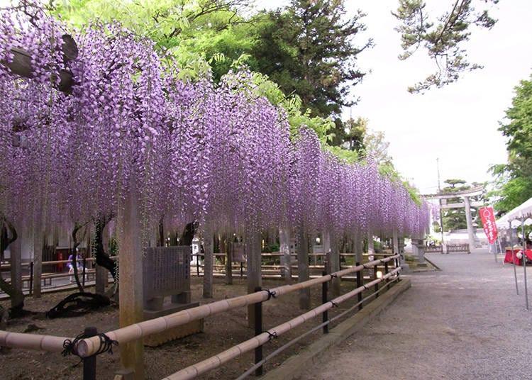 5: 紫色の滝のようにあでやかな藤の花「三大神社」(滋賀県)