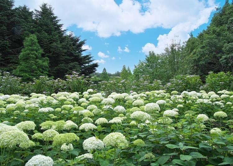10. Kobe Municipal Arboretum (Hyogo): A Famous Spot that Boats a Huge Variety of Hydrangeas