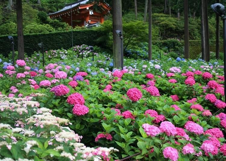 【京都府】 四季不同的花卉妝點著廣大庭園—三室戶寺