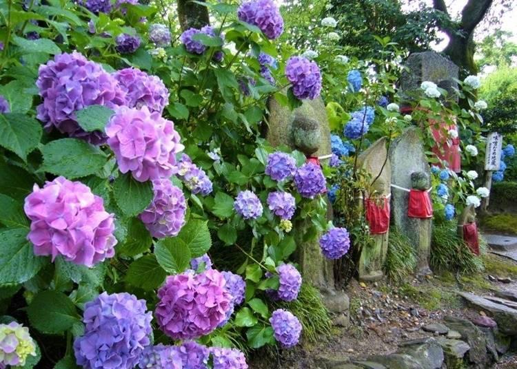 【奈良縣】地藏王菩薩和繡球花的寺廟—矢田寺