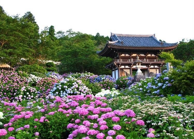 【京都府】 關西最古老的繡球花寺—丹州華觀音寺