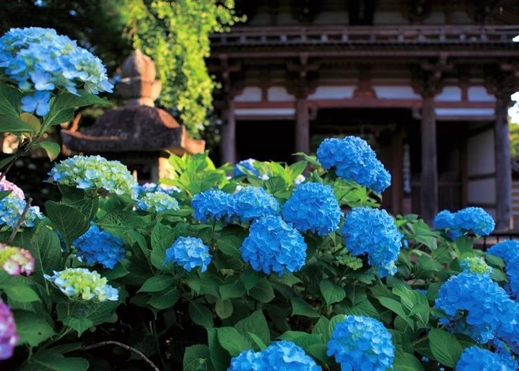 【大阪府】色彩繽紛的繡球花妝點著境內—久安寺