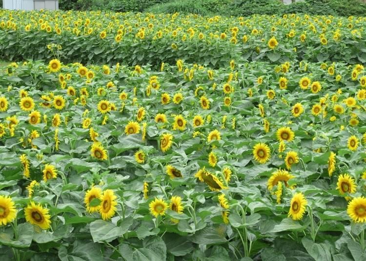 6. 1st Nagisa Park: A Sunflower Hotspot Near Lake Biwa