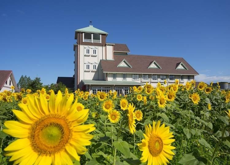 9. Aito Marguerite Station: A Roadside Sunflower Field!