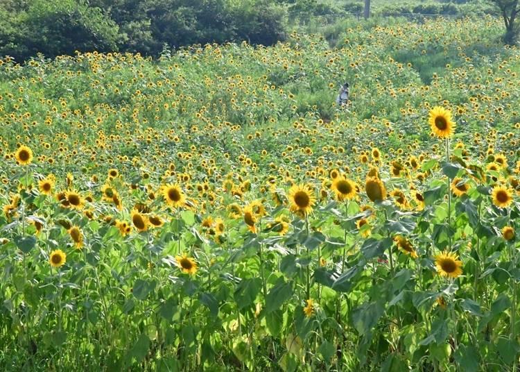 10. Ayabe Fureai Ranch: Farmland Sunflowers!