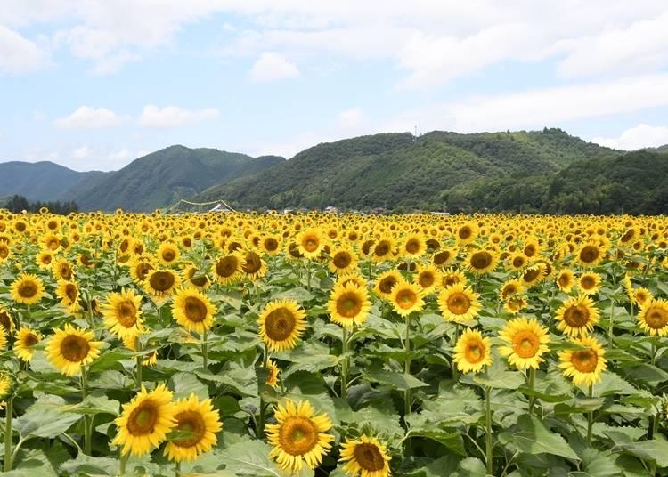 1.畑一面を黄色に埋めつくす「南光ひまわり畑」