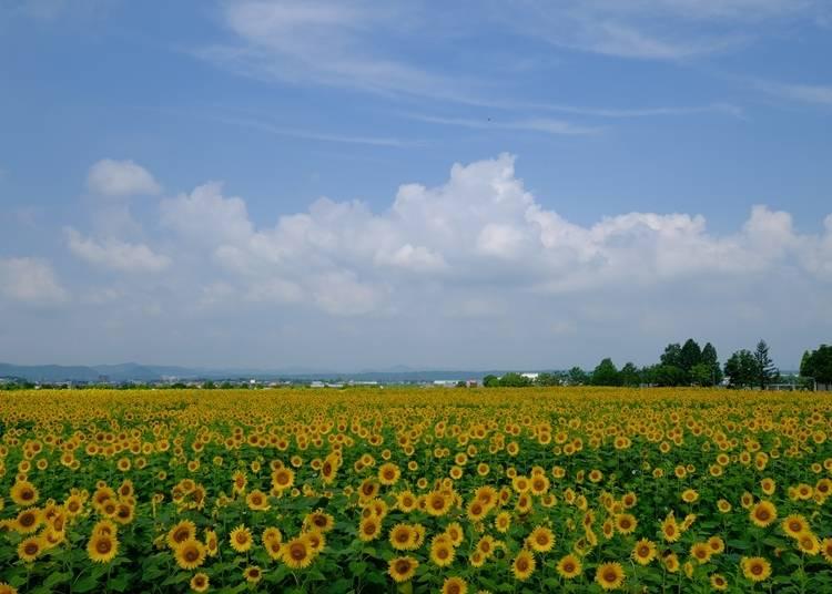 2.市花のひまわりが壮観!小野市の「ひまわりの丘公園」