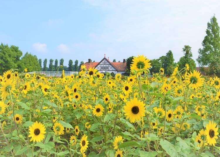 7.ひまわりイベントも楽しめる「滋賀農業公園ブルーメの丘」