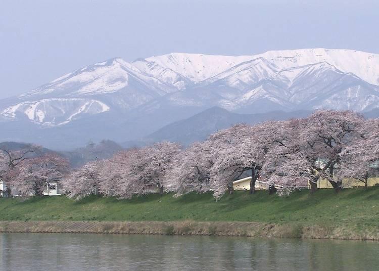 6. Be awed by Shiroishigawa Tsutsumi Hitome Senbonzakura in spring