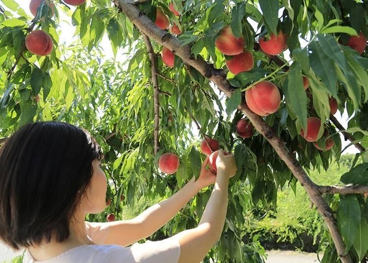 8. Pick seasonal fruit at Fruit Line