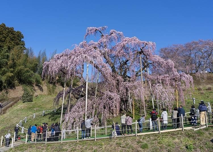 6.「三春滝桜」でお花見をする