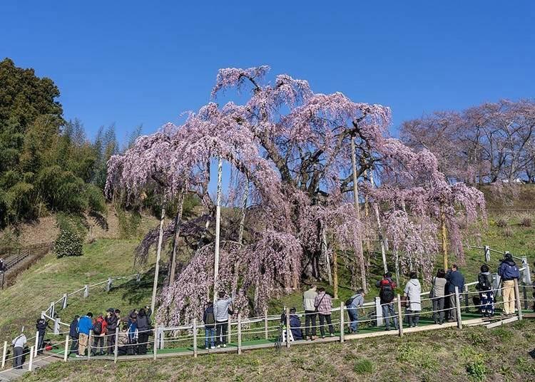 6. 미하루 타키자쿠라에서 꽃구경