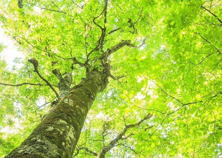 2.世界自然遺産の森「白神山地」でトレッキング
