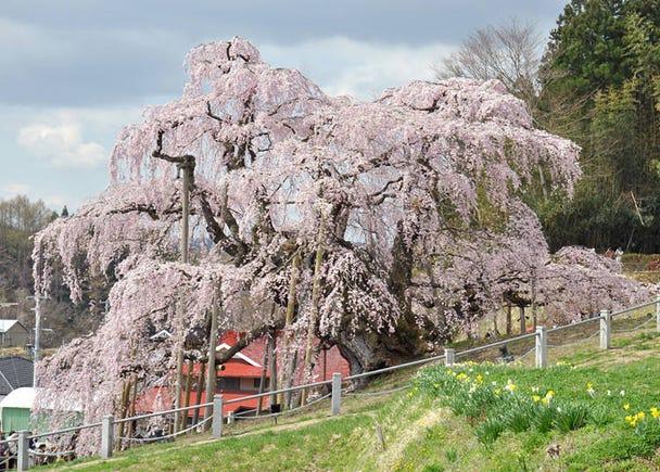 1,三春滝桜 見ごろ:4月上旬~中旬