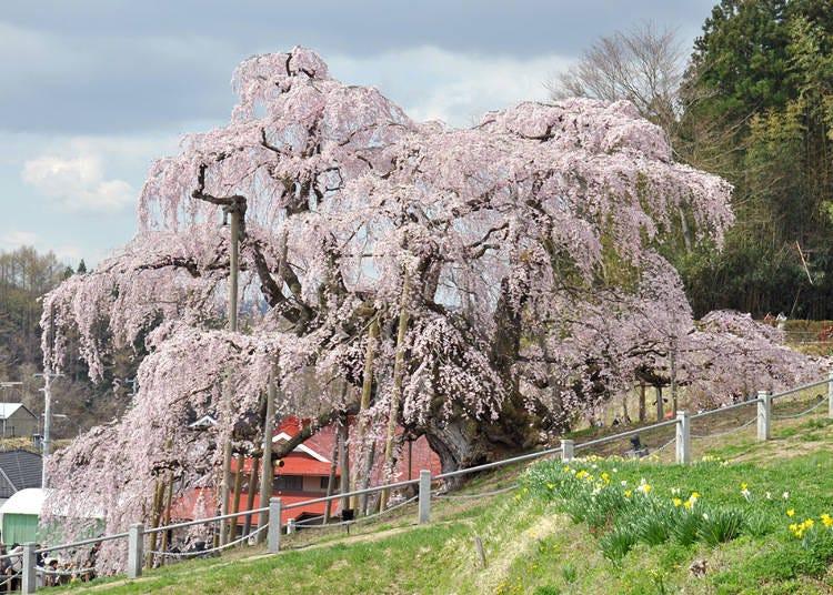 1,三春滝桜(福島県三春町) 見ごろ:4月上旬~中旬
