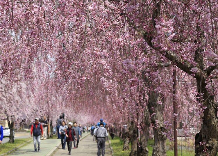 2,日中線記念自転車歩行者道のしだれ桜(福島県喜多方市) 見ごろ:4月中旬~下旬