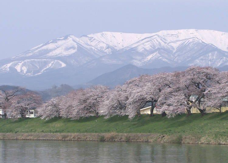 3,白石川堤一目千本桜 見ごろ:4月上旬~中旬