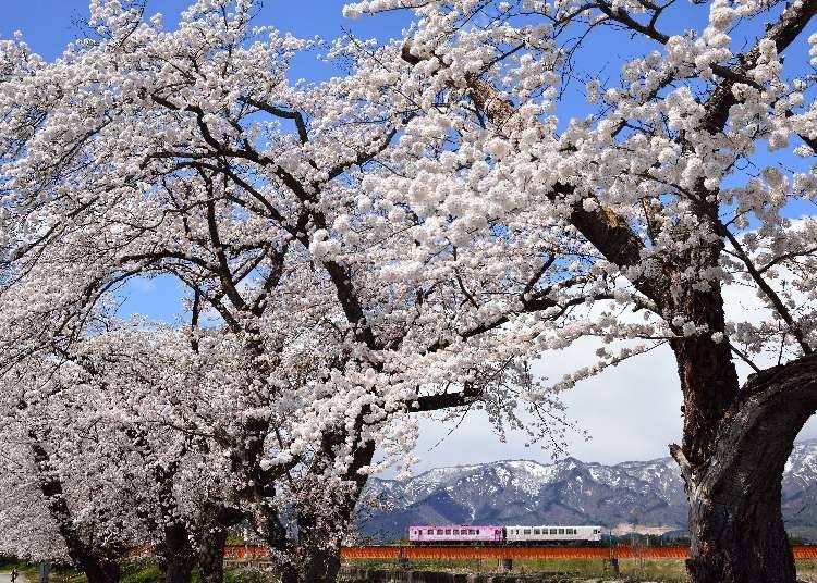 7,置賜さくら回廊(山形県白鷹町) 見ごろ:4月中旬~下旬