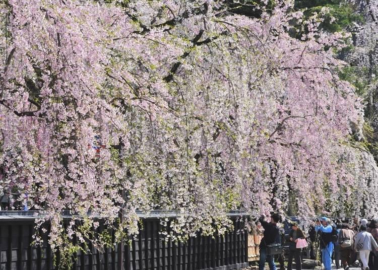 8,角館武家屋敷通り(秋田県仙北市) 見ごろ:4月下旬~5月上旬