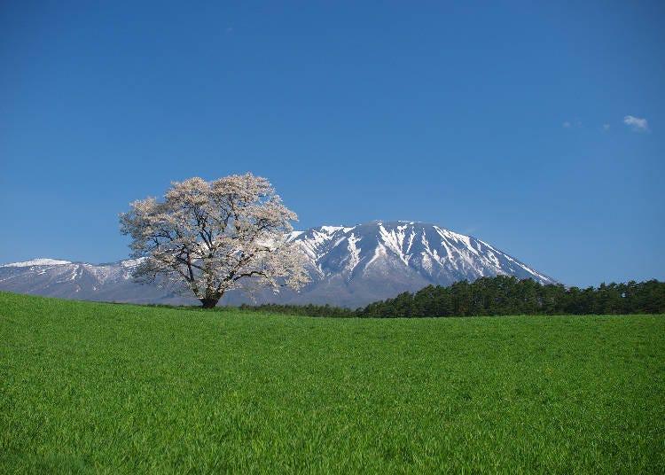 6,小岩井農場の一本桜 見ごろ:4月末~5月上旬