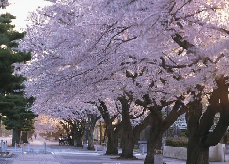 10,十和田市官庁街通り 見ごろ:4月中旬~5月上旬