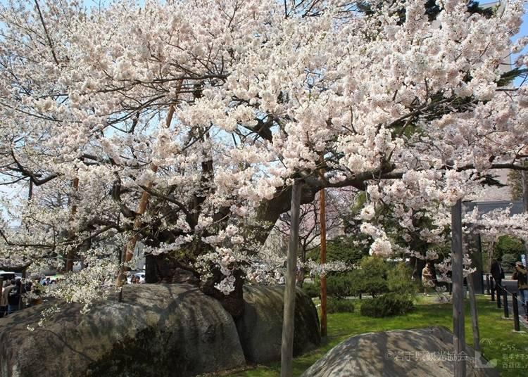 9,石割桜(岩手県盛岡市) 見ごろ:4月中旬~下旬