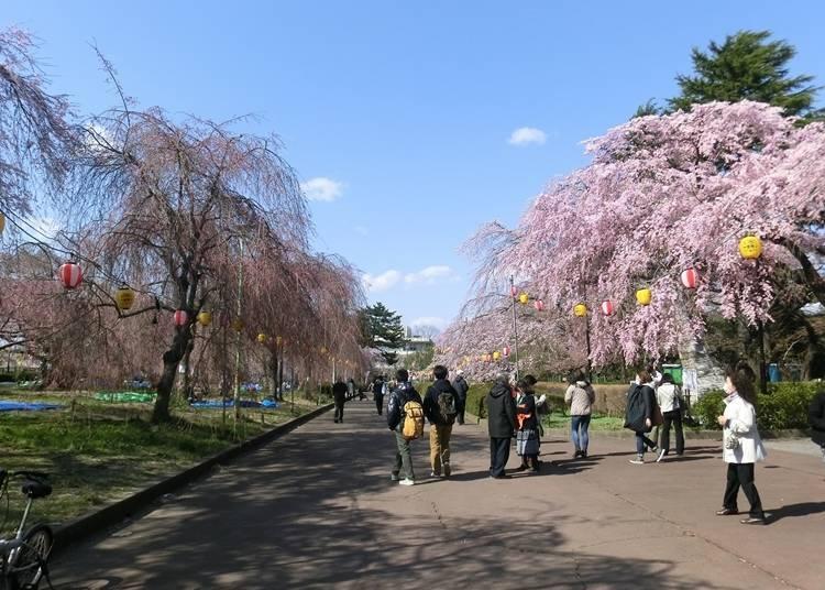 4. 츠츠지가오카 공원(미야기현 센다이시) 제철 : 4월 상순 ~ 하순
