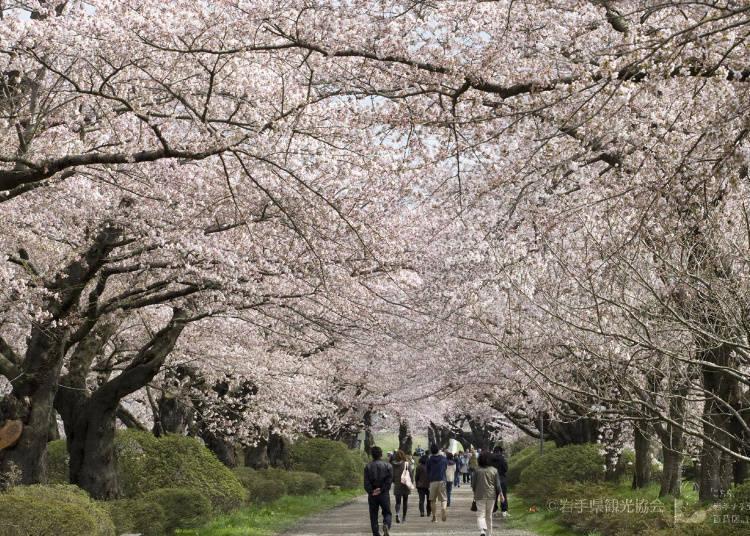 7、北上市立公园展胜地 最佳赏樱时期:4月中~5月初