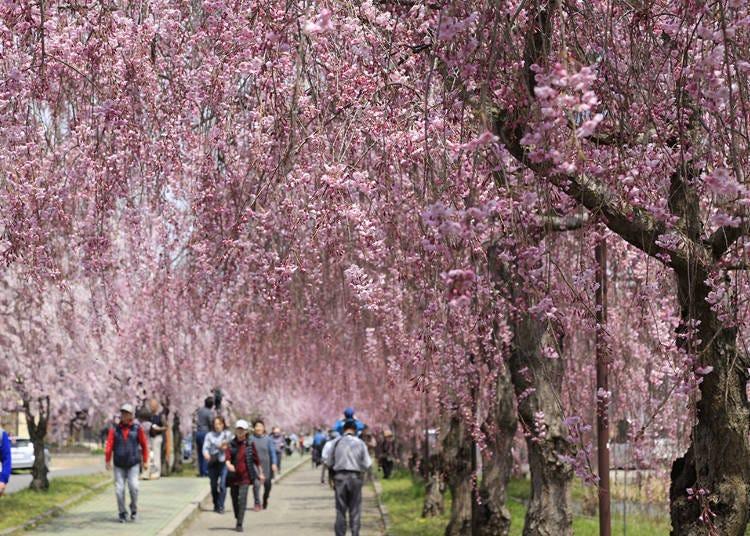 2、日中線紀念自行車行人專用道上的枝垂櫻花 最佳賞櫻時期:4月中~底