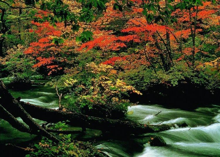 2.奧入瀨溪流 最佳賞楓時期:10月中旬~下旬