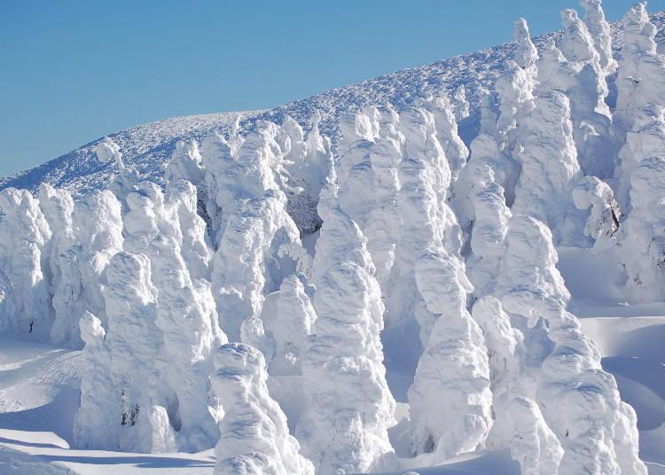 于「藏王温泉滑雪场」内、一边滑雪一边欣赏自然艺术「树冰」美景吧!