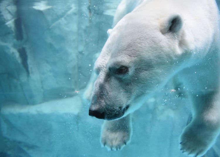 북극곰에 고질라까지? 아키타 '오가 수족관 GAO'를 즐기는 방법