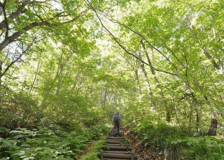 세계유산 시라카미 산지에서의 트레킹 코스. 인간의 손이 닿지 않은 너도밤나무 숲에서 힐링되는 시간.