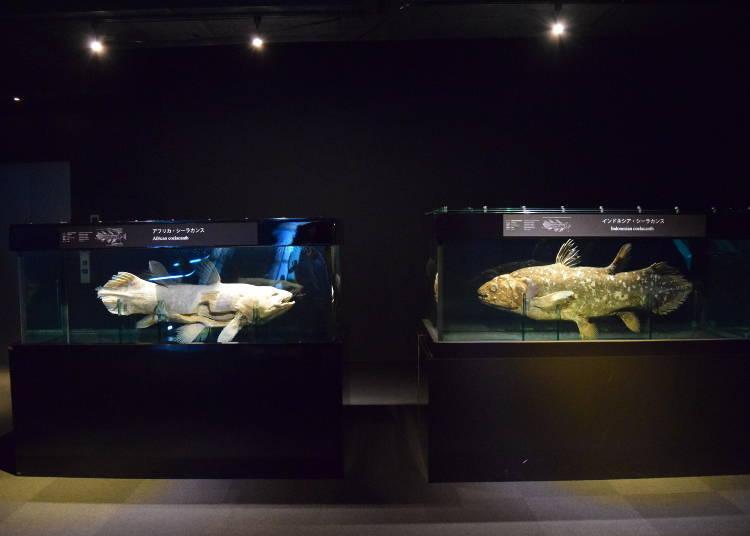 揭開腔棘魚活化石的神祕面紗