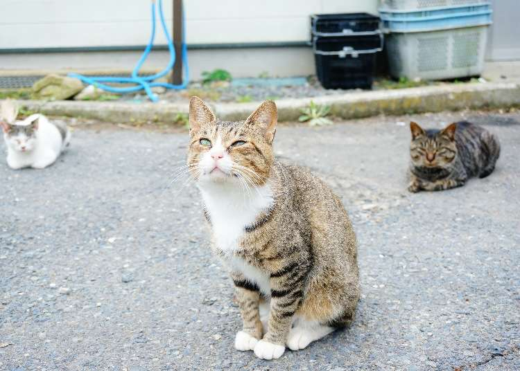 Tashirojima Island: Japan's Cuddly Cat Paradise Watched Over by the Cat God - LIVE JAPAN