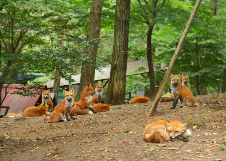 藏王狐狸村裡慵懶放鬆的狐狸們