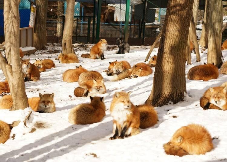 想看到藏王狐狸村裡可愛蓬鬆的狐狸,最推薦這個季節!