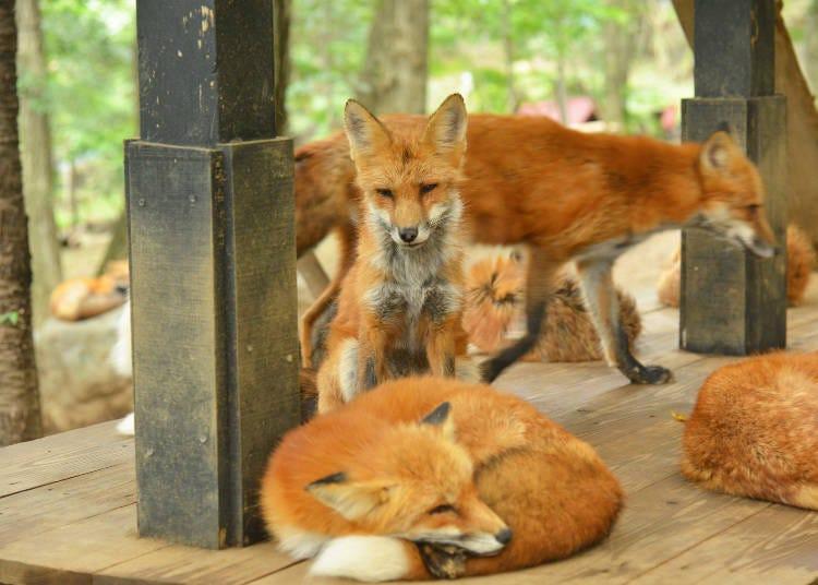 在藏王狐狸村裡,棘球蚴病沒關係嗎?