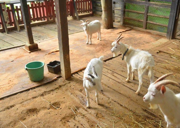 藏王狐狸村不只有狐狸!還有可愛的兔子與山羊