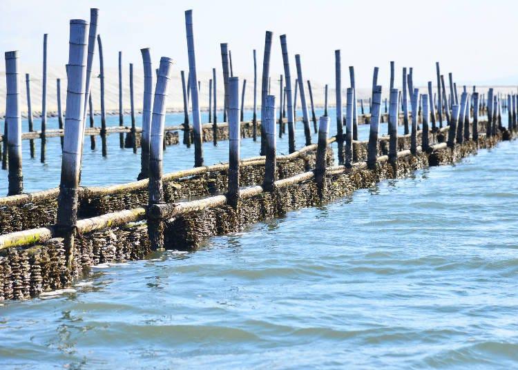 1600年代から始まった松島の牡蠣養殖