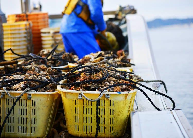 栄養たっぷりの海で育ったからこそうまい、宮城の牡蠣