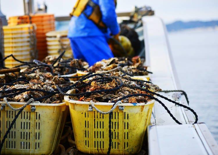 在充滿營養的海洋中成長的宮城牡蠣