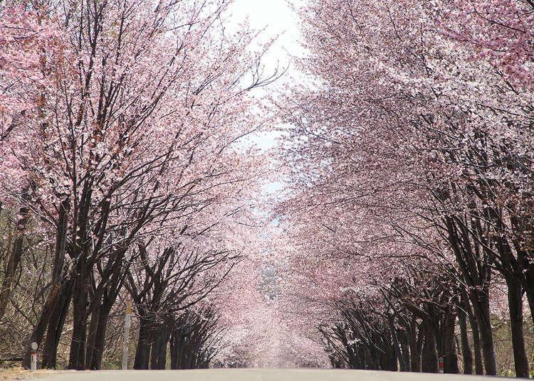 "20km Cherry Blossom Tunnel! Japan's Mt. Iwaki Has ""The World's Longest Cherry-Lined Road"""