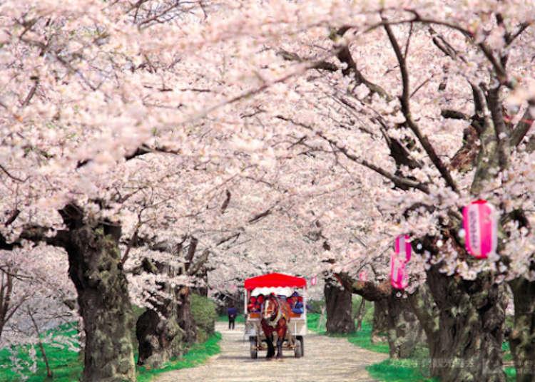 '기타카미 텐쇼치 사쿠라 마츠리' 마차와 선상에서 즐기는 2km의 벚꽃로드
