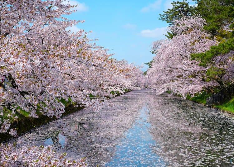 1.日本を代表する弘前の桜でお花見をする
