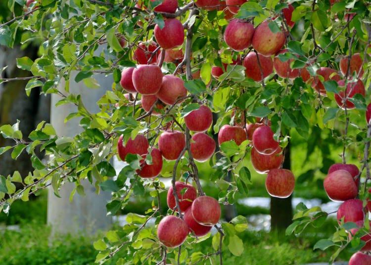 5.日本一のリンゴを味わう