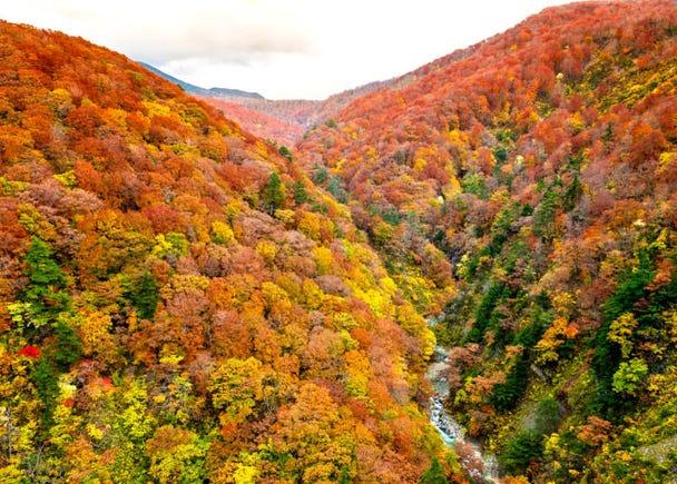 6.黄色いブナ林を散策する【白神山地】