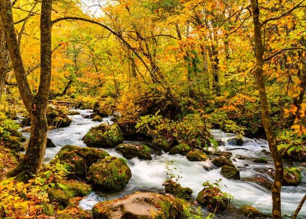 青森賞楓景點②奧入瀨溪流:散步道旁的楓葉將溪流染上秋色
