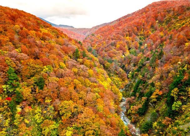 青森賞楓景點⑥白神山地:在黃色的日本山毛櫸林中散步
