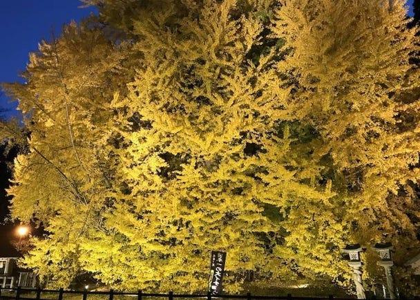 青森賞楓景點⑦北金澤大銀杏樹:金光閃閃超迷人